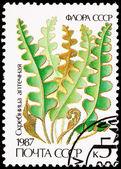 Russia Postage Stamp Hart's-Tongue Fern, Asplenium Scolopendrium — Zdjęcie stockowe