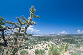 Compound Aluvial Fans Bajada Cylindropuntia Imbricata Cane Choll — Stock Photo