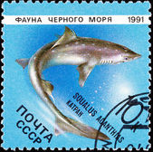 Post Stamp Spiny Dogfish Shark, Squalus Acanthias — Stock Photo