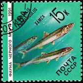 Stamp Fish European Anchovy Engraulis Encrasicolus — Stock Photo