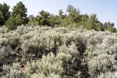 Sagebrush Outside Taos, New Mexico, USA — Stock Photo