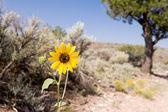 Helianthus Sunflower Sagebrush Desert New Mexico — Stock Photo
