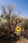 Helianthus Sunflower Sagebrush New Mexico Desert — Stock Photo