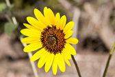 Sunflower Helianthus Laetiflorus New Mexico USA — Stock Photo