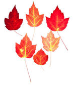 Red Maple Leaves Autumn Fall Isolated White — Stock Photo