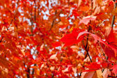 Full Frame Field of Orange Autumn Maple Leaves on Trees — Stock Photo