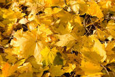 Full Frame Bunch Yellow Autumn Maple Leaves Ground — Stock Photo