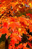 Full Frame Bunch Orange Autumn Maple Leaves Tree — Stock Photo