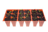 Side View Daisy Seedlings Sprouting Pots Isolated — Stock Photo