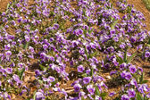 Full Frame Purple Pansies Flower Garden — Stock Photo