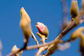 Magnolia Flowers Budding Early Spring Isolated — Stock Photo