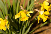 Yellow Daffodils Blooming in the Spring — Stock Photo