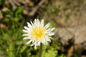 White Dandelion,Taraxacum albidum North East China — Stock Photo