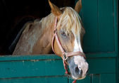 Brown Horse with White Streak, In Stable Stall — Stock Photo
