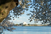 Jefferson Memorial Cherry Blossoms Tidal Basin DC — Stock Photo