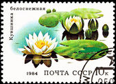 European White Waterlily, Nymphaea alba — Stock Photo