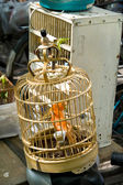 Orange Birds in Cage Pet Market Shanghai China Maybe Canary — Stock Photo