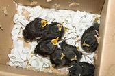 Groupe de bébé affamé des oiseaux dans une boîte en carton, shanghai chine — Photo