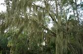 Spanish Moss Hanging from Live Oak, Hilton Head, South Carolina — Stock Photo
