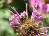 Bumble Bee Pollinating Pink Bee Balm Flower Genus Monarda — Stock Photo