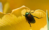 Japanese Beetle Clinging to Yellow Flower Petal — Stock Photo