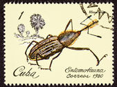 Post Stamp Insect Weevil Rhina Oblita Brown Beetle — Stock Photo