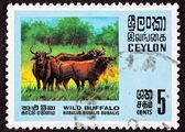 Ceylon Sri Lanka Postage Stamp Asian Water Buffalo Bubalus Bubal — Stock Photo
