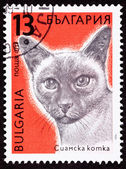 Canceled Bulgarian Postage Stamp Shorthaired Siamese Cat Breed — Stock Photo