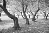Black White Twisted Cherry Trees in Grove Washington DC — Stock Photo