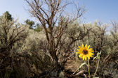 Showy Sunflower Helianthus Laetiflorus Sage Brush — Stock Photo