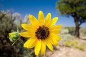 Yellow Desert Showy Sunflower Helianthus laetiflorus New Mexico — Stock Photo