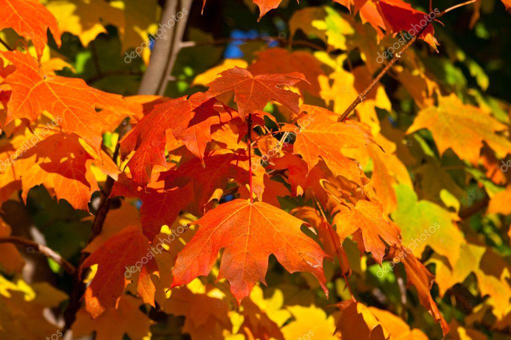 橙色, 红色, 黄色的枫叶树上秋天秋天