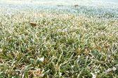Frozen grass — Stock Photo