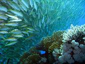 Yellowfin Goatfish — Stock Photo