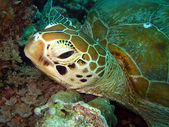 Green Turtle Close-up — Stock Photo