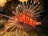 Spotfin Lionfish — Stock Photo