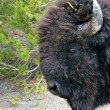 Bison Close-up — Stock Photo