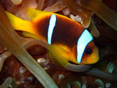 Red Sea Anemonefish — Stock Photo