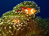 Western Clown-anemonefish Couple — Stock Photo