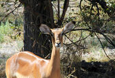 Impala Eye Contact — Stock Photo