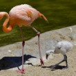 Stock Photo: Flamingo and offspring