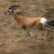 Stock Photo: Gerenuk running