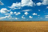 Ekologi mainstream - ren havre fältet — Stockfoto