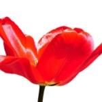 Red tulip over white — Stock Photo