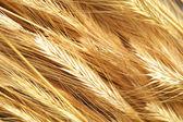 Rye background — Stock Photo