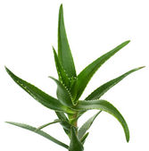 Aloe vera isolated on white — Stock Photo
