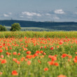 Wild poppy field — Stock Photo