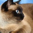 Siamese cat closeup — Stock Photo