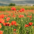 Wild poppy field — Stockfoto