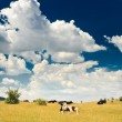 Cows at meadow - Stock Photo